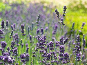 Lavendelfoto